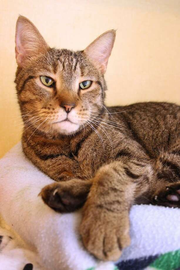 Stephen is waiting at Mary's Kitty Korner to be adopted. Photo: Contributed Photo / Not For Resale