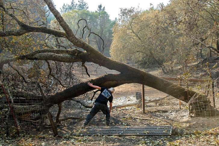 Roland Tembo Hendel walks under a fallen tree to check the burned remains of his property off of Franz Valley Road on Wednesday, Oct. 18, 2017, in Santa Rosa, Calif. His home and property was destroyed in the Sonoma County fires.