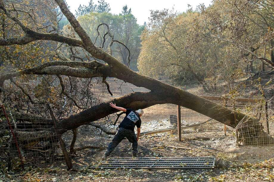 Roland Tembo Hendel checks the burned remains of his property in Santa Rosa. A tree-killing disease likely contributed to the spread of the wildfires. Photo: Santiago Mejia, The Chronicle