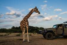 A giraffe named Buttercup moves closer to Buck Watson, a hunting guide, as he looks on from a vehicle at the Ox Ranch in Uvalde, Texas, Aug. 15, 2017. Hunters are not allowed to shoot the ranchÕs giraffes. In the hill country outside San Antonio, the safari-style world of rare and endangered species symbolizes the popularity and controversy of exotic game hunting. (Daniel Berehulak/The New York Times)