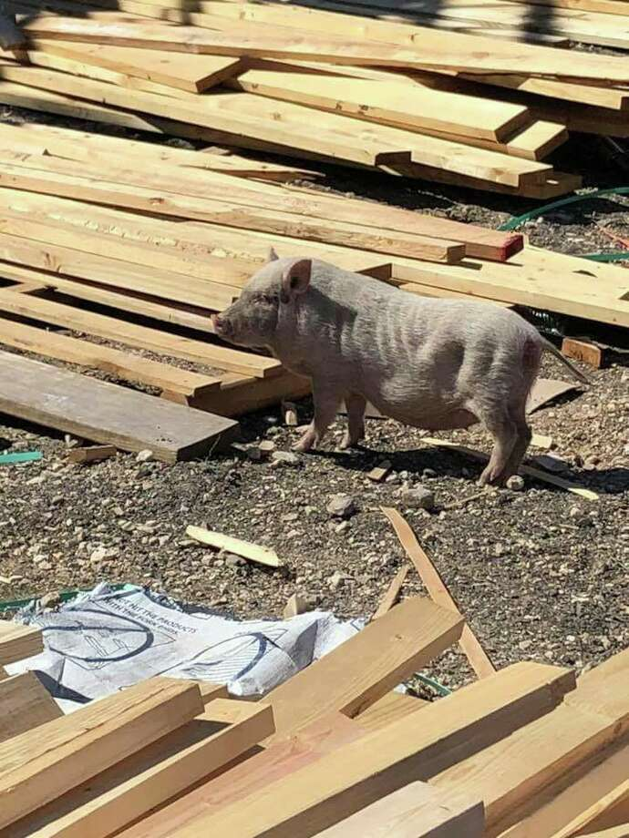 This is Gidget before she was Gidget, when she was a stray wandering around a construction site. Photo: Jennifer White