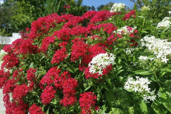 Graffiti Red Lace pentas provide months of continuous color.