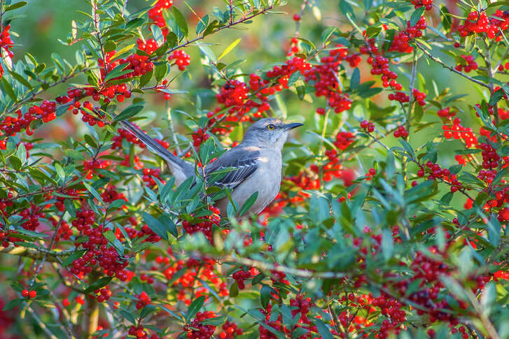 Mockingbirds will lay claim to a berry bush in the fall and defend it until winter, when the berries are ripe.