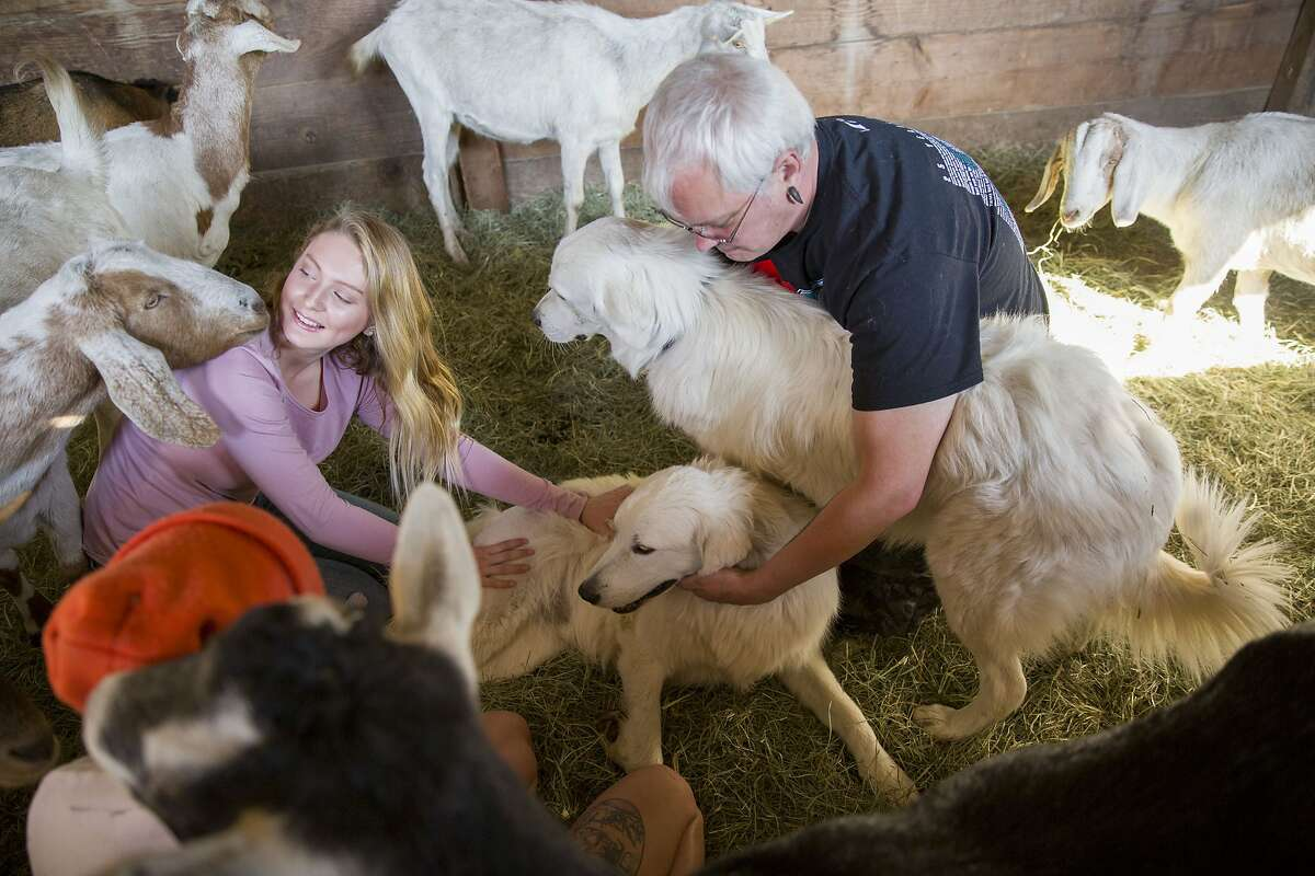 Roland Tembo Hendel greets his dog Odin (bottom) and Tessa on Wednesday, Oct. 18, 2017, in Santa Rosa, Calif. When the Sonoma County fires headed towards Hendel's home, he and his daughter tried to coax Odin, but Odin wouldn't budge without the eight goats he protects. Odin stayed with them and ended up also guarding some deer escaping the fire. Hendel's daughter Ariel is seen on the left.