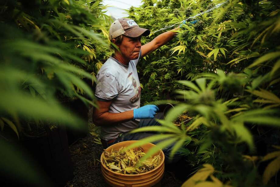 Amy Goodwin removes the yellow leaves and checks for damage on the marijuana plants for SPARC on Wednesday in Glen Ellen, California. The plants require a high level of maintenance, and the fire stopped employees from working. Photo: Photo By Mason Trinca For The Washington Post. / For The Washington Post