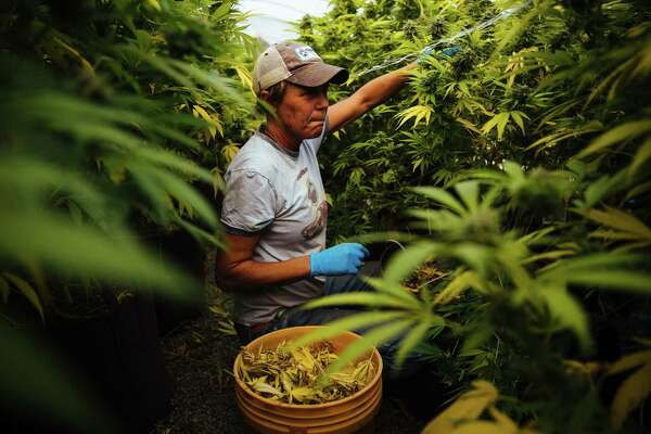 Amy Goodwin removes the yellow leaves and checks for damage on the marijuana plants for SPARC on Wednesday in Glen Ellen, California. The plants require a high level of maintenance, and the fire stopped employees from working.