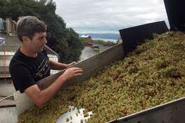 In this Sept. 28, 2017 photo, Atwater Estate Vineyards winemaker Vinny Alperti inspects freshly picked grapes that will be used to make orange, or skin-fermented wine in Burdett, N.Y. Lighter than reds and earthier than whites, orange wines have caught on in recent years among connoisseurs who like the depth of flavors.  (AP Photo/Michael Hill) ORG XMIT: NYR401