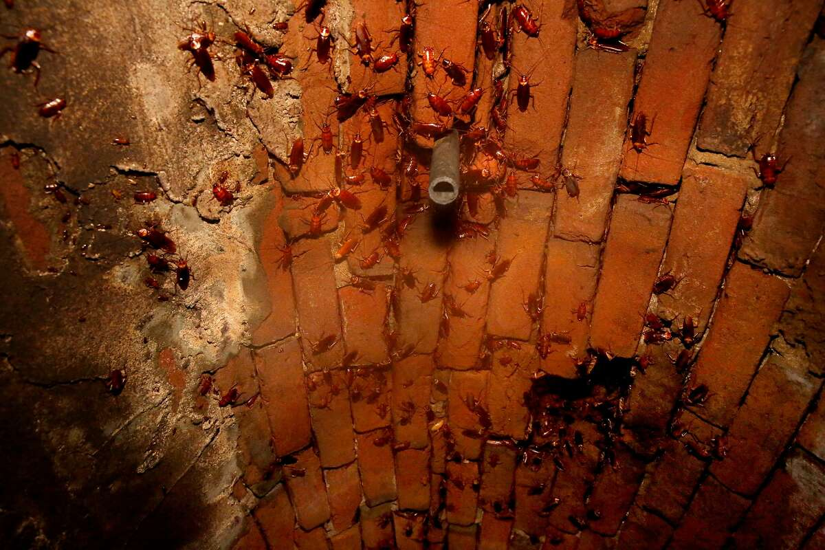 Cockroaches cling to the ceiling of a section of the sewer system under the 300 block of Ellis St., which dates back to the 1866 in San Francisco, as seen on Thursday October 12, 2017.