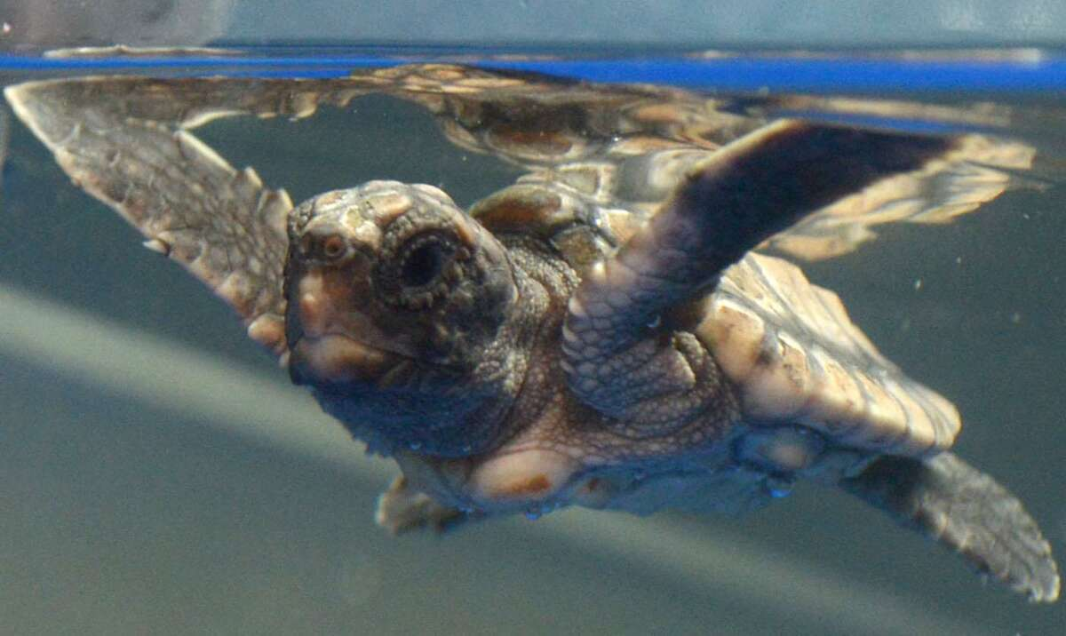 A hatchling loggerhead sea turtle at The Maritime Aquarium's new Sea Turtle Nursery exhibit on Friday in Norwalk. The exhibit opens this weekend, featuring the hatchling loggerhead sea turtle that didn't make it from its nest on a beach in North Carolina into the ocean.