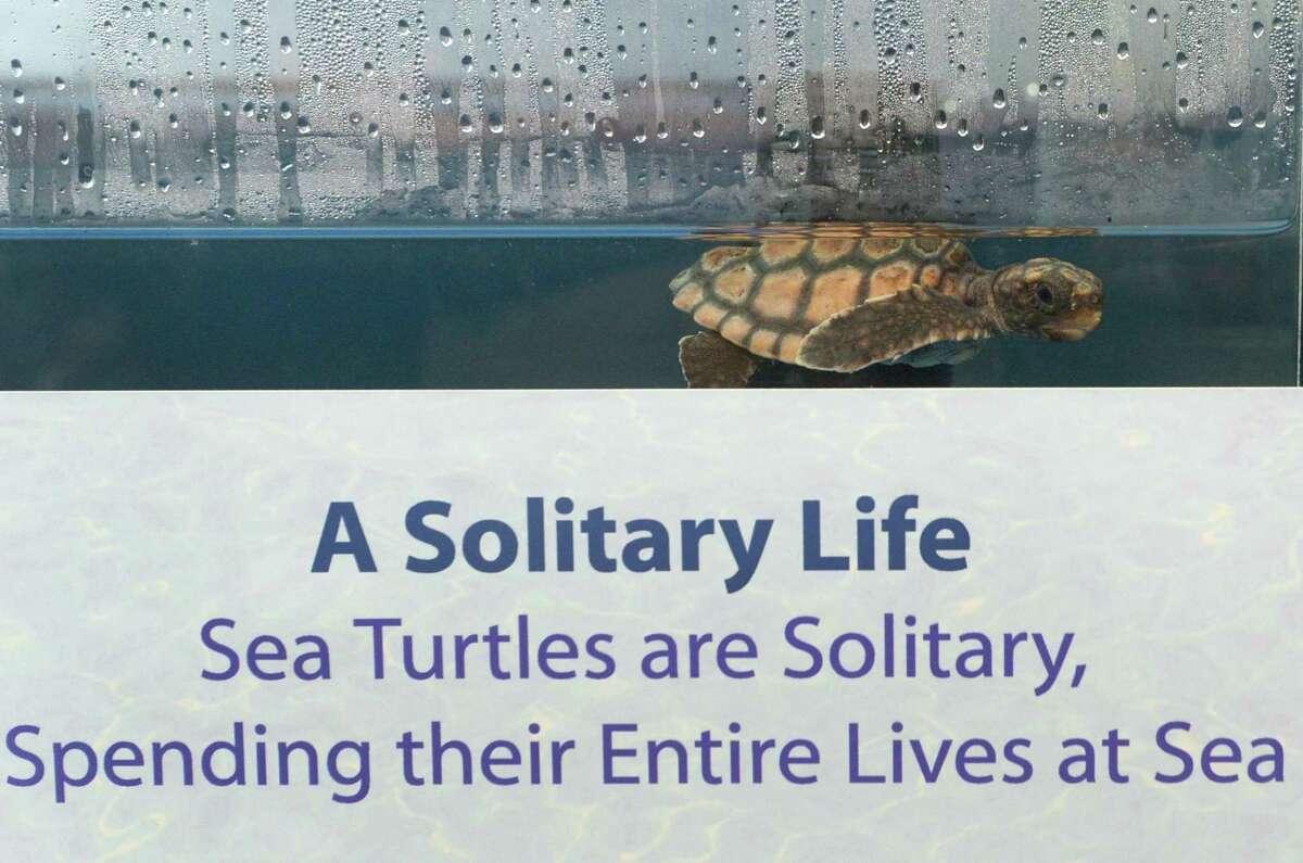 A hatchling loggerhead sea turtle at The Maritime Aquarium's new ?