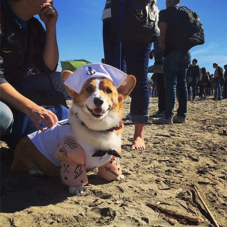 costumed corgis invade ocean beach for corgi con sfgate