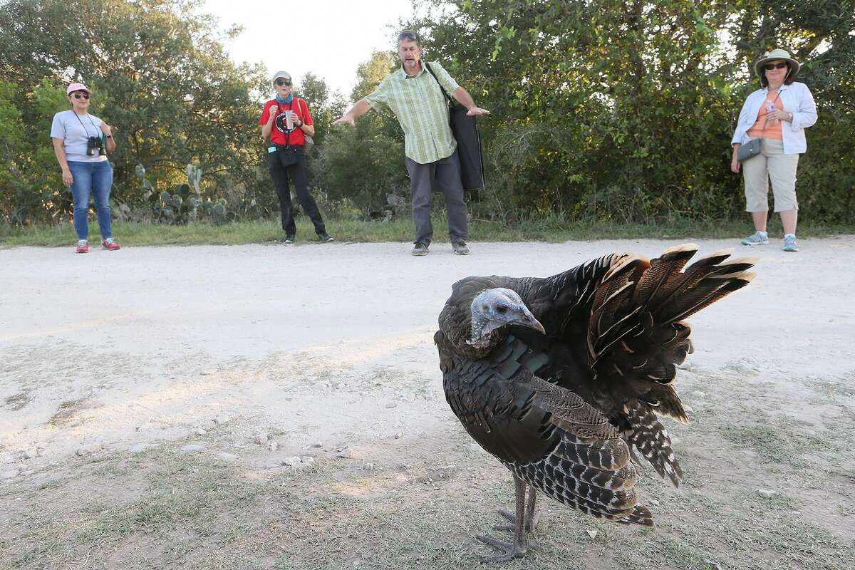 Fran Hutchins, director of Bracken Cave Preserve, introduces a young hen turkey named Jackie to a visiting group there on Sept. 14. Jackie stays near the entrance to the cave and follows visiting groups there.