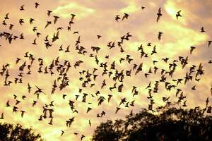 How batty is San Antonio? Not only does the city have its an annual Bat Loco Bash to celebrate and showcase its Mexican free-tailed bats under Interstate 35, the city also has the world's largest bat colony at Bracken Cave Preserve (pictured).