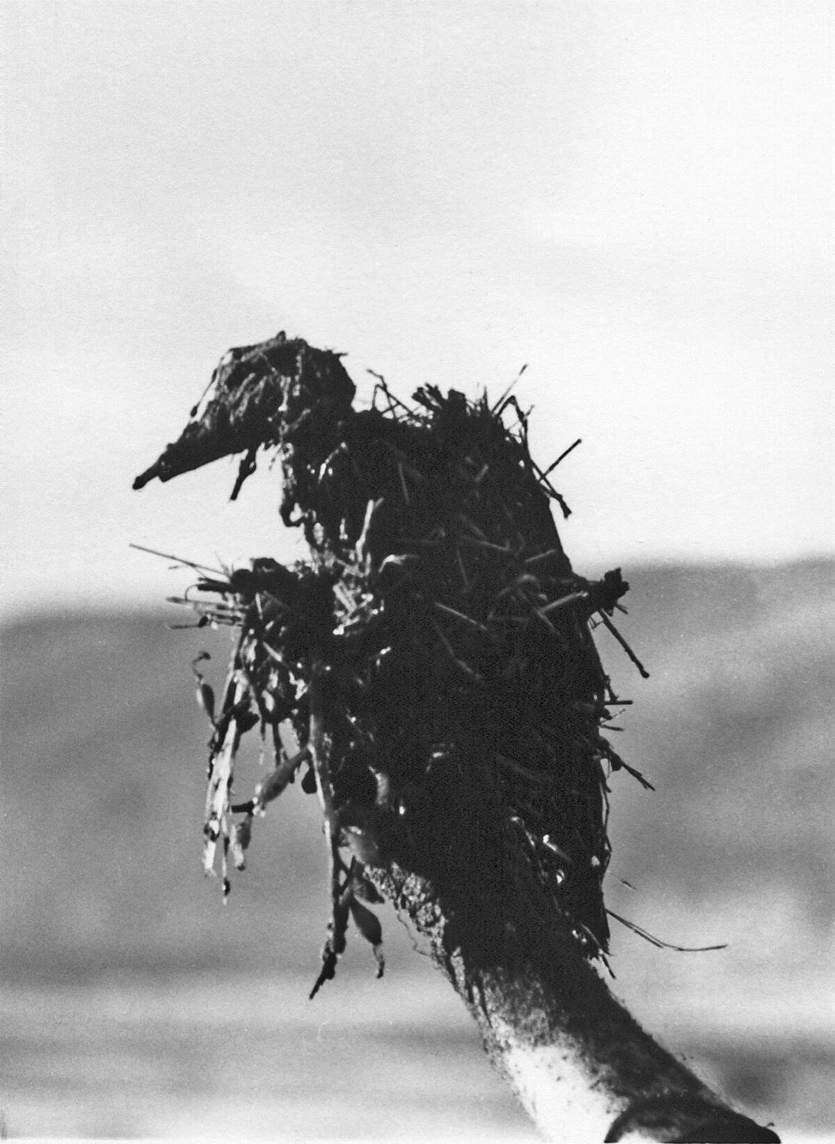 Grebe killed in Bolinas during the spill off the coast January 19 1971