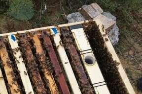 Abejas trabajan en un panal en la producción de miel.