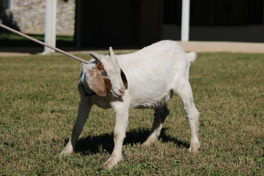 Photos of the latest goat captured in Bexar County. It was found abandoned Monday Oct. 23, 2017. Photo: Courtesy