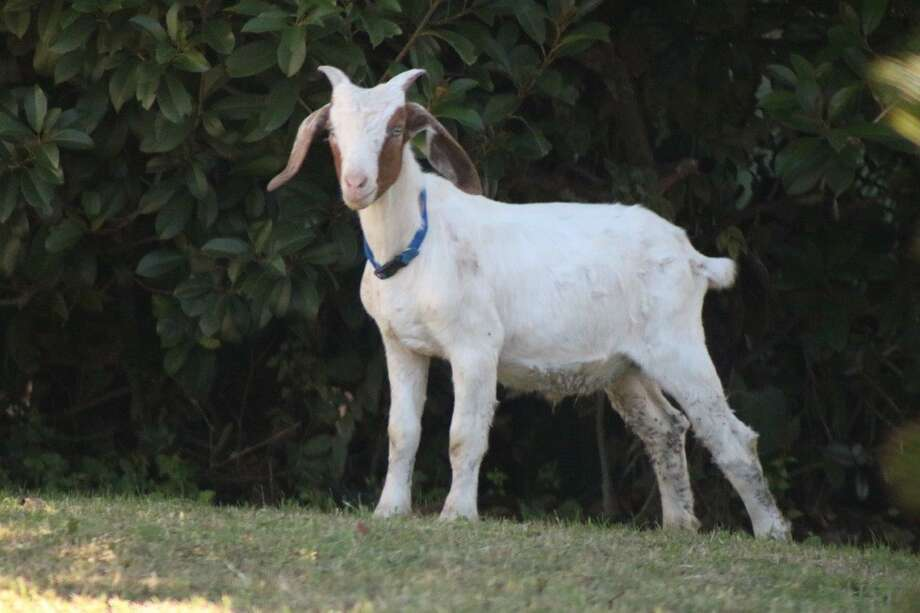 A mostly white goat wearing a blue collar was found in the 6000 block of Timberrock Drive on the Southwest Side on Monday. A resident said the goat was in the neighborhood since Sunday afternoon. Photo: Courtesy Photo