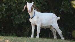 A mostly white goat wearing a blue collar was found in the 6000 block of Timberrock Drive on the Southwest Side on Monday. A resident said the goat was in the neighborhood since Sunday afternoon.
