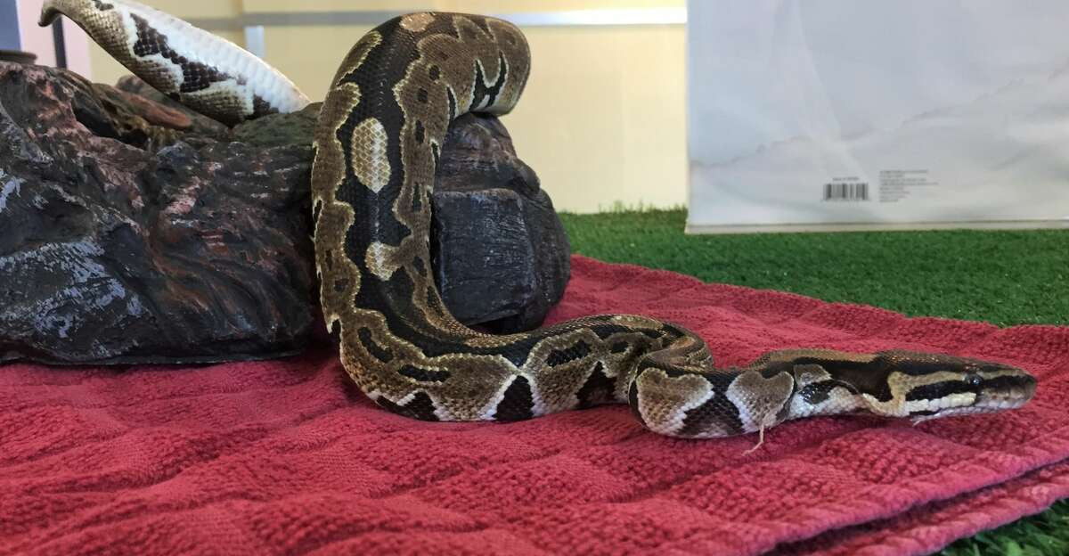 Rumplesnakeskin, a young ball python currently being cared for by the Peninsula Humane Society, was discovered curled up on a public bus in Palo Alto on Sept. 27, 2017.