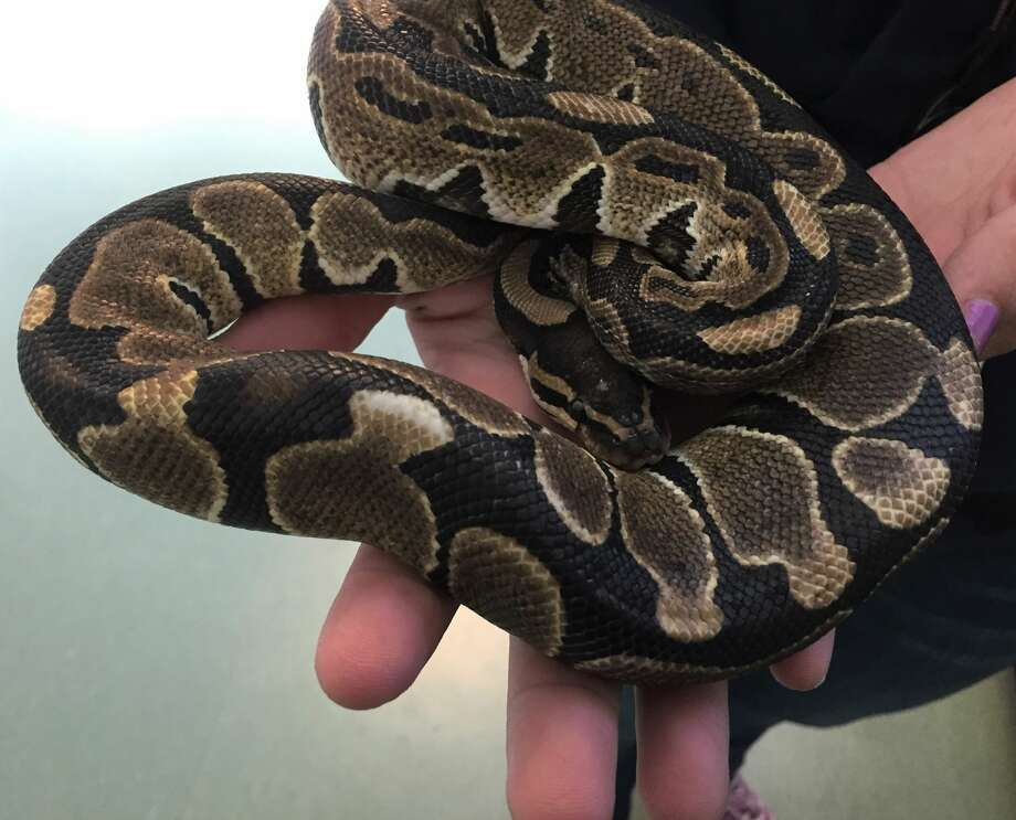 Rumplesnakeskin, a young ball python currently being cared for by the Peninsula Humane Society, was discovered curled up on a public bus in Palo Alto on Sept. 27, 2017. Photo: PHS/SPCA