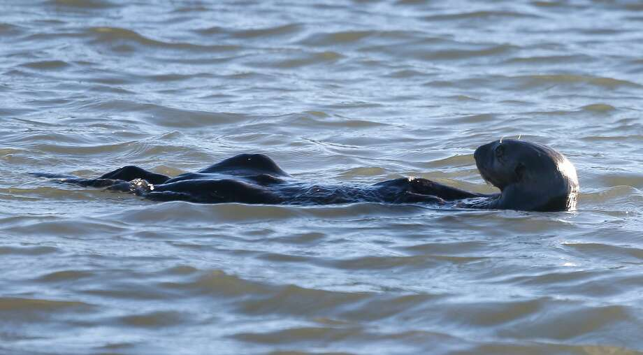 Where does one go to see a sea otter in California? Redditors – and a Marine Mammal Center veterinarian – weigh in. Photo: Paul Chinn, The Chronicle