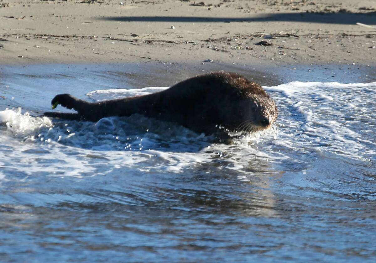 Yankee Doodle, a southern sea otter, hits the surf after he's released back to the ocean by volunteers from the Marine Mammal Center at Pillar Point Harbor in Half Moon Bay, Calif. on Tuesday Oct. 24, 2017. Yankee Doodle was rescued in July after he was sickened by domoic acid and was nursed back to health.
