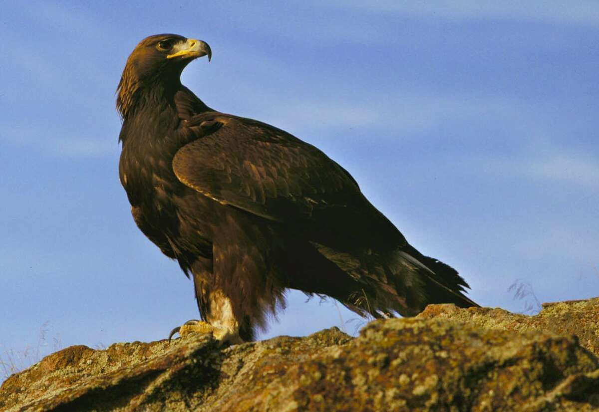 FILE- A golden eagle rests on top of the canyon at the Snake River Birds of Prey National Conservation Area, near Boise, Idaho, in this undated file photo. The Bureau of Land Management has ordered the Idaho National Guard to stop building a tank crossing on a road in the national conservation area. A formal cease and desist letter was quietly sent to the Idaho Military Division in September 2017, halting the Guard's work on a planned tank crossing in the BLM-managed Morley Nelson Snake River Birds of Prey Conservation Area. (AP Photo/Troy Maben, File)