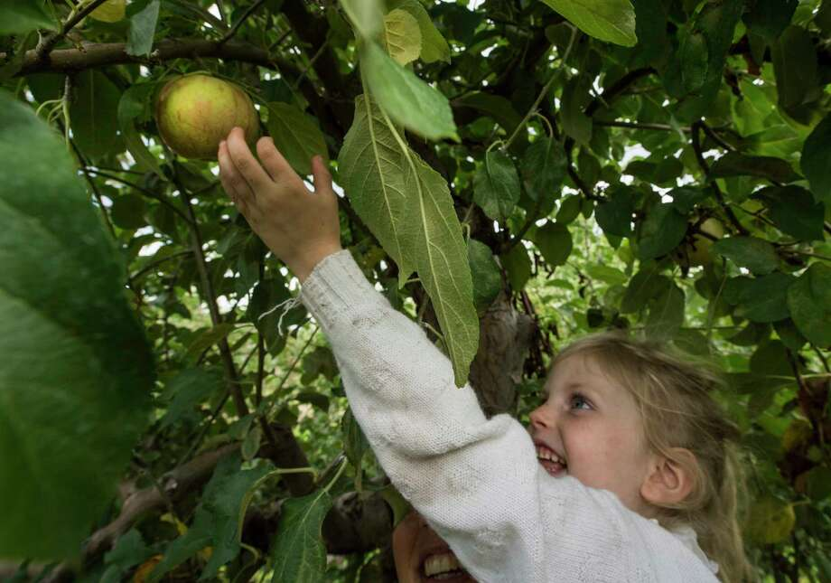 Brigid Breen, 4, gets a lift from her mom Meghan Breen to grab an apple from a high branch while apple picking with her family at the Indian Ladder Farms on Thursday, Sept. 7, 2017, in Altamont, N.Y.  (Skip Dickstein/Times Union) Photo: SKIP DICKSTEIN