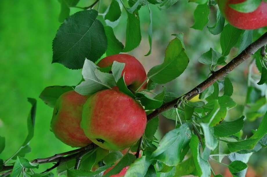Apples on a tree grown by the author, who has growing apple trees since 1981.