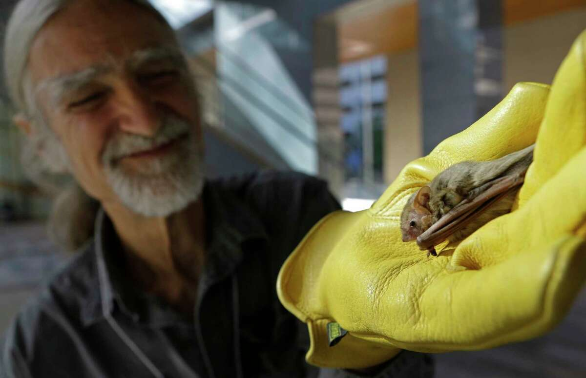 Lee Mackenzie, with Austin Bat Refuge, holds a northern yellow bat during an event at Shell Woodcreek Complex, 150 N Dairy Ashford Rd., Monday, Oct. 23, 2017, in Houston. The National Fish and Wildlife Foundation announced more than $1.36 million in grants to combat white-syndrome and promote the survival of bats in North America. The grants awarded through Bats for the Future Fund, is a public-private partnership between the National Fish and Wildlife Foundation, U.S. Fish and Wildlife Service, U.S. Forest Service, Shell Oil Company and Southern Company.