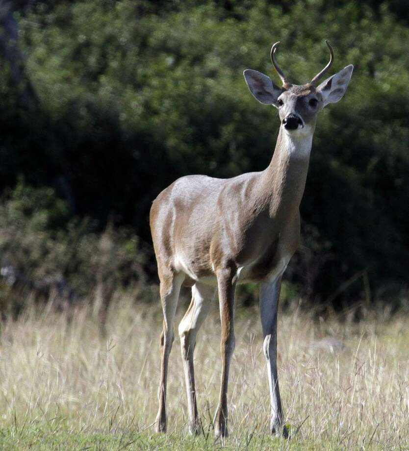 White-tailed deer Photo: File Photo