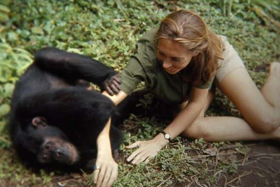 "Jane Goodall in a frame from ""Jane."" (Image courtesy of TIFF)"