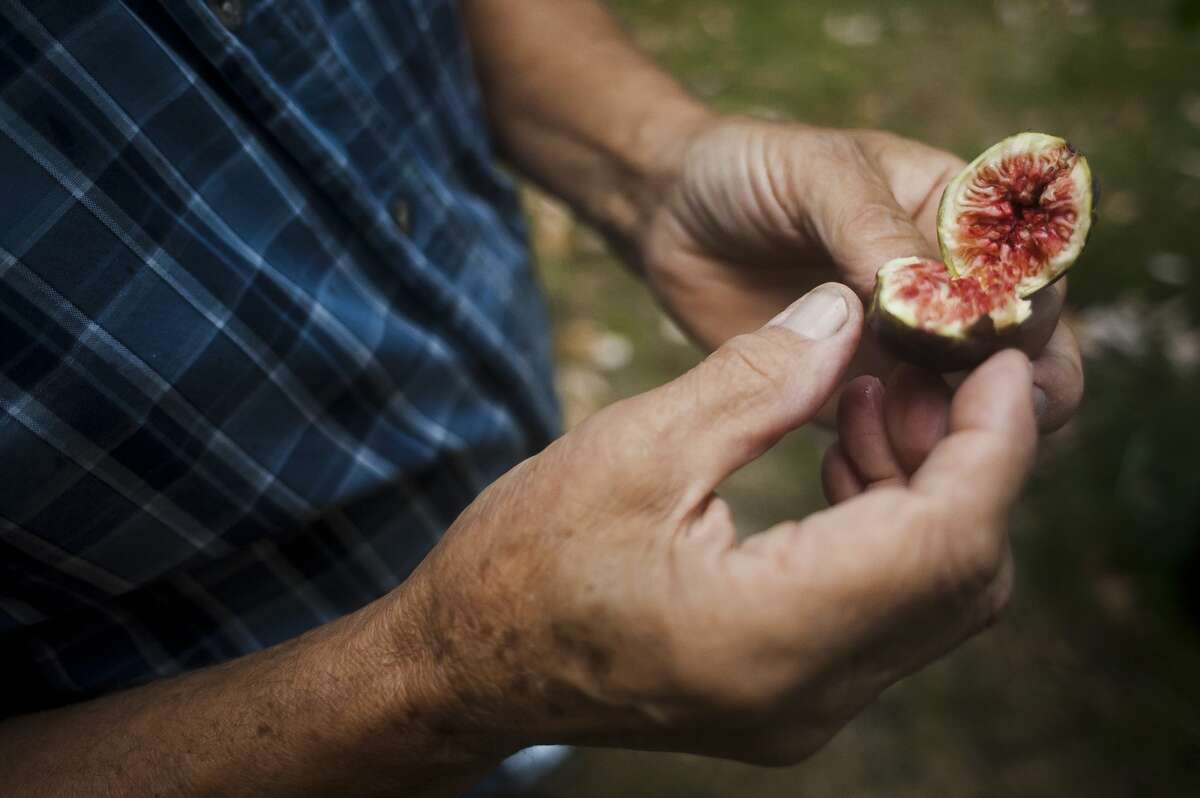 Sanford resident Louis Vescio opens a fresh fig after picking it from the fig tree in his front yard on September 29, 2017. (Katy Kildee/kkildee@mdn.net)