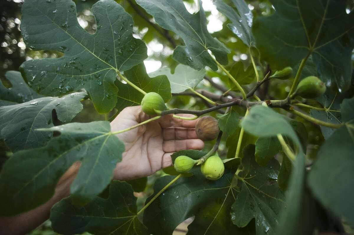 Sanford resident Louis Vescio checks on figs growing on the fig tree in his front yard on September 29, 2017. (Katy Kildee/kkildee@mdn.net)