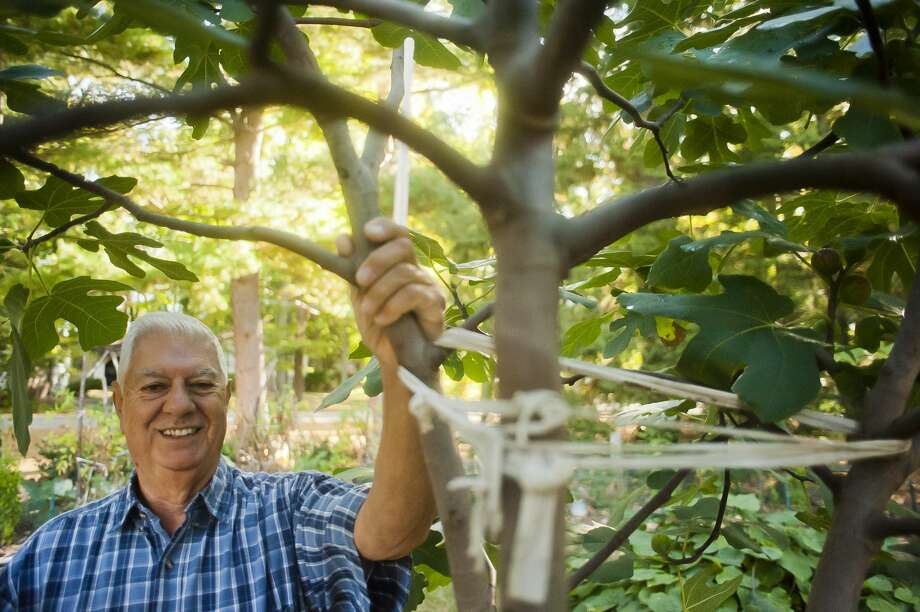 Sanford resident Louis Vescio poses for a portrait next to the fig tree in his front yard on September 29, 2017. (Katy Kildee/kkildee@mdn.net) Photo: (Katy Kildee/kkildee@mdn.net)