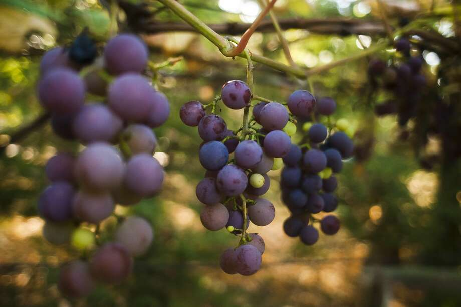 FILE — Wine grapes grow in the front yard of Sanford resident Louis Vescio on September 29, 2017. (Katy Kildee/kkildee@mdn.net) Photo: (Katy Kildee/kkildee@mdn.net)