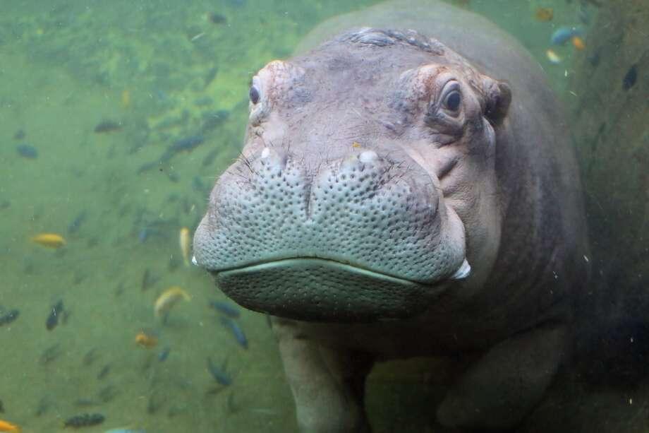 The San Antonio Zoo's new baby hippo. Photo: San Antonio Zoo