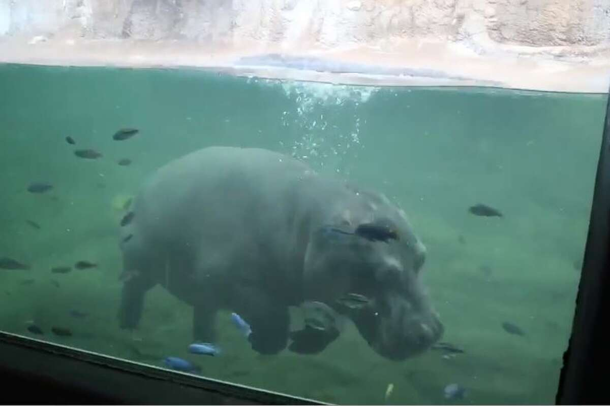 San Antonio\'s Timothy the hippo is turning 3 this weekend ...