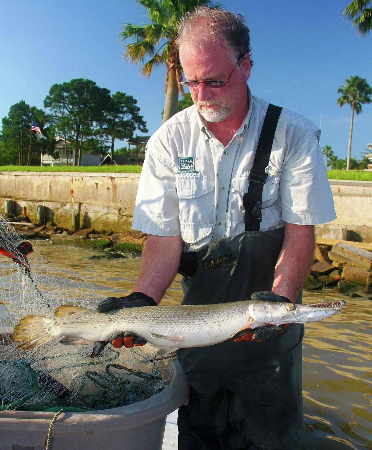 Crews conducting annual  autumn gill net sampling in bays along the upper coast after Hurricane Harvey have found unusually large numbers of alligator gar.
