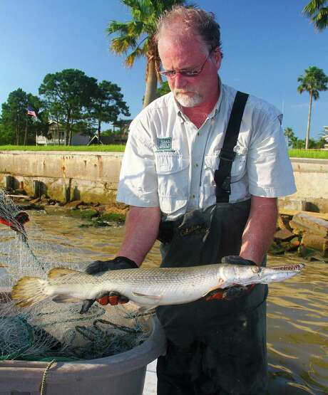 Crews conducting annual autumn gill net sampling in bays along the upper coast after Hurricane Harvey have found unusually large numbers of alligator gar. Photo: Shannon Tompkins