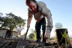 Leonard Gressett and fellow volunteers continue to dig for any remaining sweet potatoes to be harvested from a large plot at the Giving Field community garden in Beaumont Wednesday evening. A group of school children spent Tuesday at the garden, unearthing 488 pounds of sweet potatoes. The tubers, along with other fresh produce and herbs grown at the garden, are donated to area soup kitchens, providing farm fresh produce to those in need. Saturday, Nov. 4, the garden will host its annual Farm to Table fundraising dinner. The farm fresh, organic meal is again being prepared by Katherine and Co., and all 106 seats have been sold. The fall dinner proceeds also benefit organizations that aid needy families and individuals, including Some Other Place. The event has sold out every year since the garden opened 5 years ago. Photo taken Wednesday, October 25, 2017 Kim Brent/The Enterprise