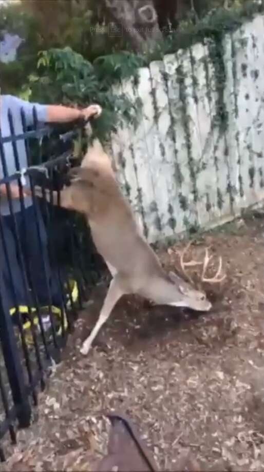 """Victoria Police Department: """"This deer's day just got a LOT betterEvidently, this poor fella had spent the night in this precarious position. Luckily, Officers Hayles and Horne responded to the call and saved the day. The video is a bit long but stick with it until the end and see how a deer expresses its thanks."""" Photo: Facebook/Victoria Police Department"""