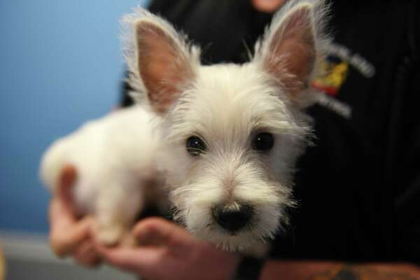 A West Highland terrier puppy that was stolen from a pet store in Crossgates Mall is held by Bob Meyers, Guilderland senior animal control officer, on Thursday, Oct. 26, 2017, at the town animal shelter in Guilderland, N.Y. The puppy was taken from the Pet Zone store on Wednesday and later turned in at an Albany homeless shelter. Police are trying to determine who took him from the store. (Will Waldron/Times Union)