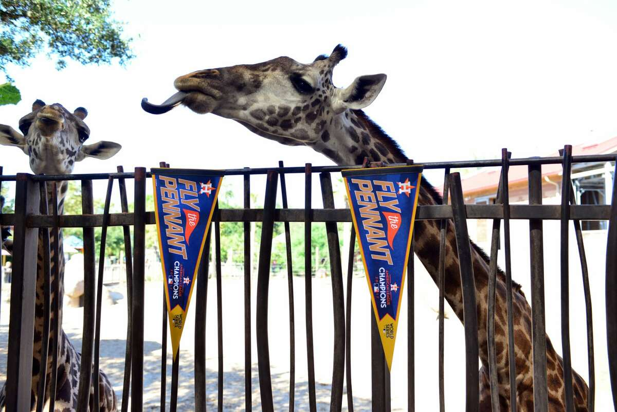 Go Astros World Series Animals at the Houston Zoo celebrate the Astros victory in game two of the World Series in Los Angeles.