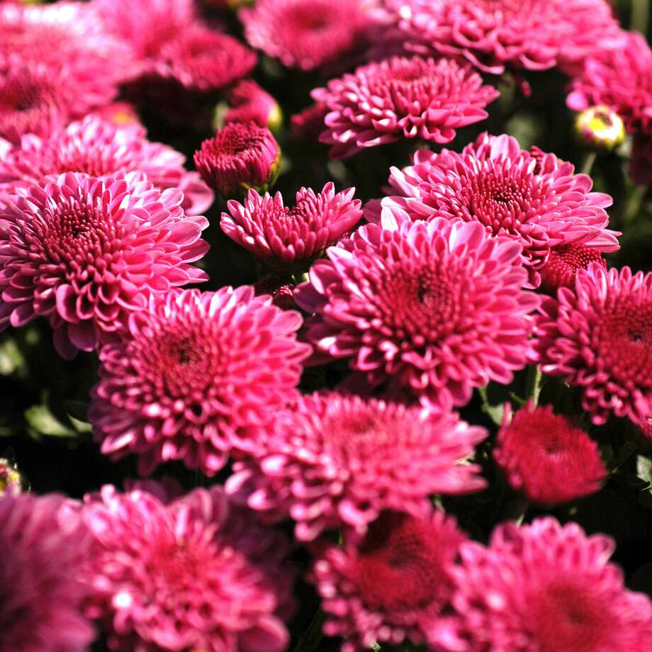 When mums finish blooming, trim them back to within an inch or 2 of the ground. You will see new shoots coming up from their roots. Those new stems will be next year's plants. Photo: Courtesy Photo