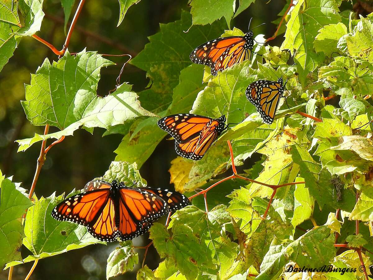 This Wednesday, Oct. 25, 2017 photo provided by Darlene Burgess shows a monarch butterfly at Point Pelee National Park in Canada.