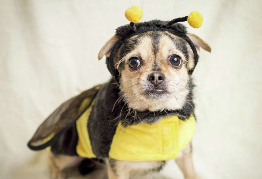 Bumble bee: While I admit it does warm my Halloween shivering chihuahua bones a bit, I'm still nipping your hand. Photo: Dreamstime /TNS / TNS