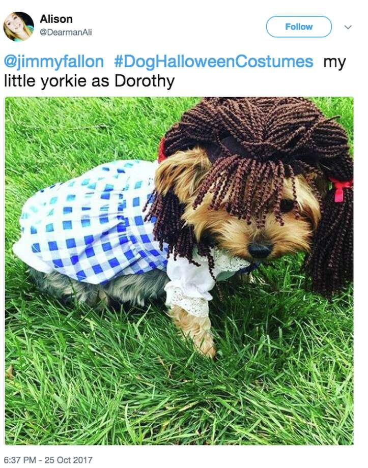 """""""Tonight Show"""" host Jimmy Fallon invited viewers to post photos of their dogs in Halloween costumes on Twitter with the hashtag #DogHalloweenCostumes. Photo: Twitter Screen Grab"""