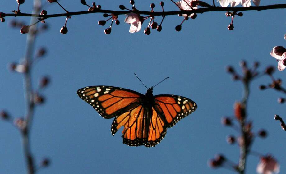 Monarch butterflies have wings to get from place to place. Humans don't. Maybe they need light rail instead. Photo: Frederic Larson /The Chronicle / ONLINE_YES