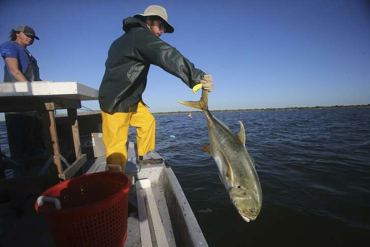 Parks and Wildlife intern Zach Russell returns a jack crevalle to the bay, which is near Port O'Connor, last week.